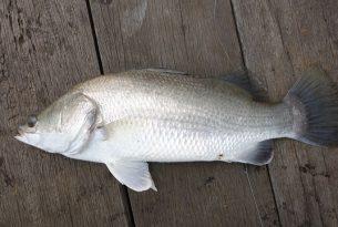 ปลาไทยพื้นบ้าน หาซื้อง่ายประโยชน์ดีๆ